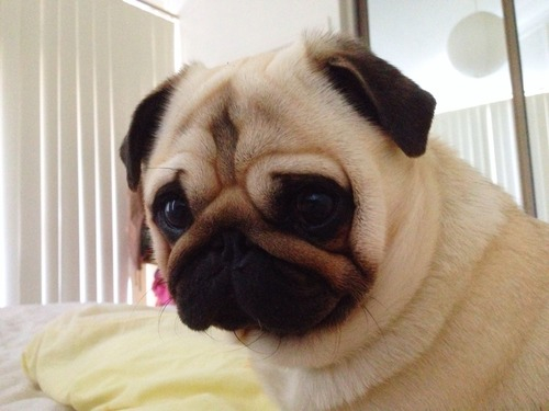 adorable, cute, dog, eyes, kiss, pug, puggy, pugs, puppy ...