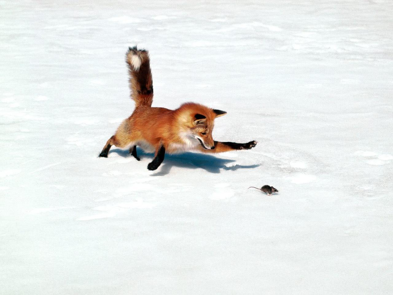 chase, cold, fox, fun, hunt, mouse, orange, winter