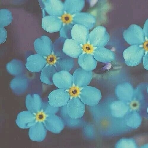 backgrounds, blue, flowers, do not forget me