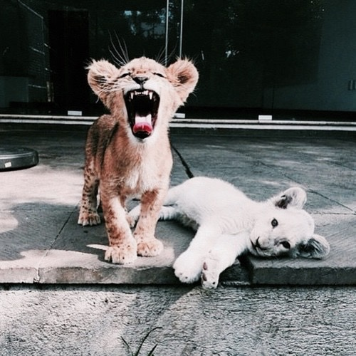 animal, animal lovers, animals and baby lion