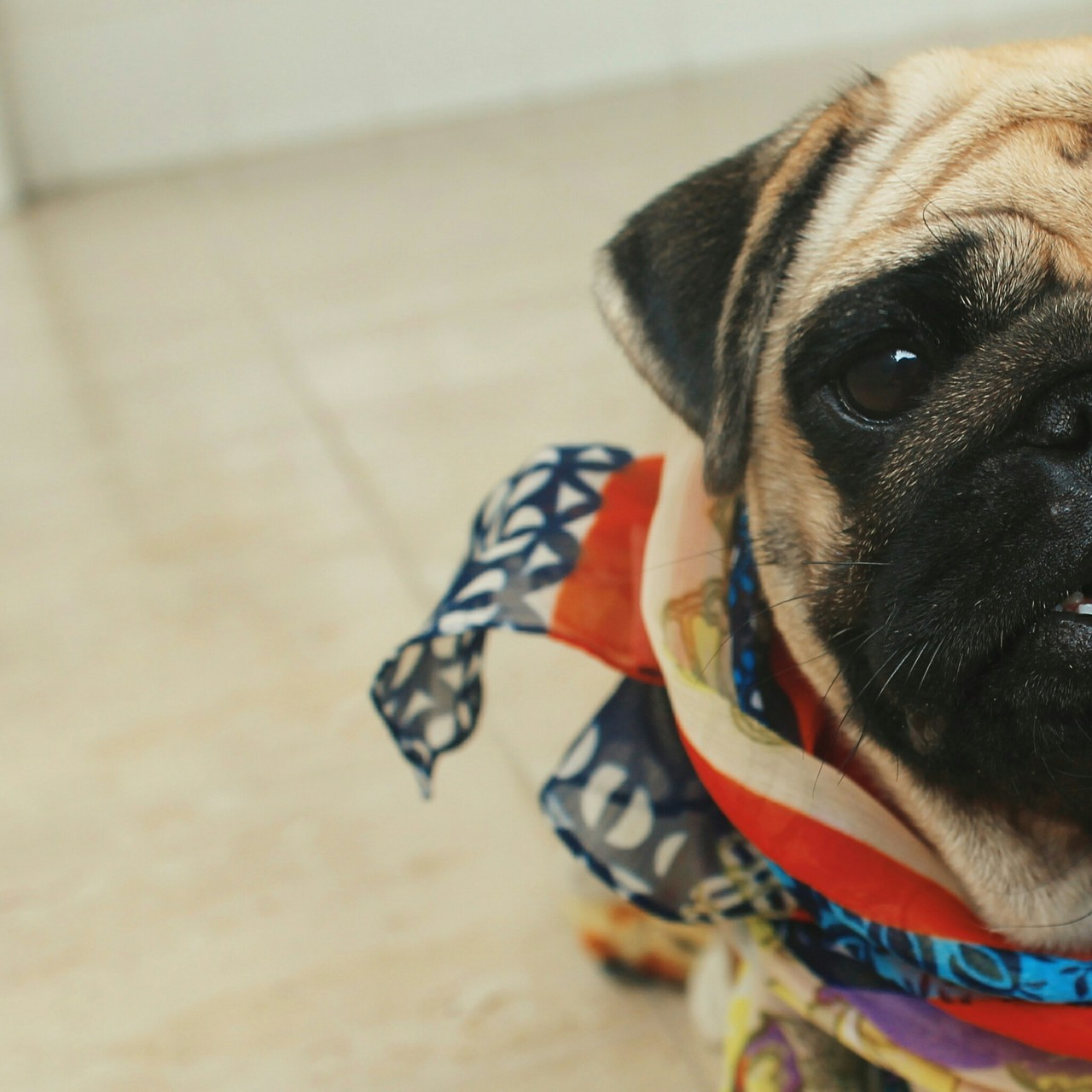 animals, dogs, fashion, love, photo, pug, pugs, riodejaneiro