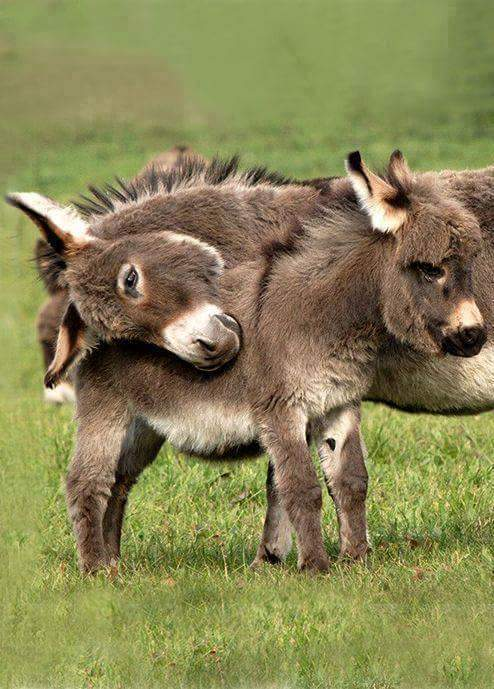 animal, baby, cute and donkey