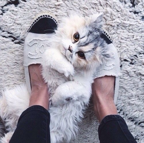 cat, chanel, fluffy and furry