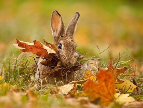 http://s6.favim.com/orig/151211/animals-autumn-beautiful-bunny-Favim.com-3754476.jpg