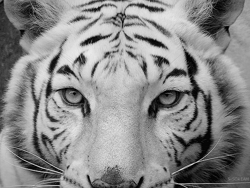 Animal bw beautiful black and white image 541118