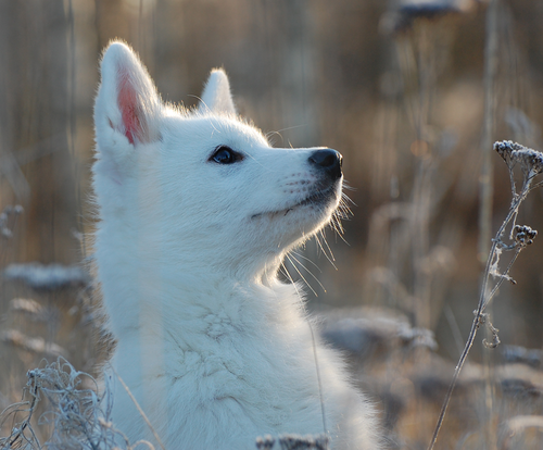 Pin White Wolf Puppies For Sale on Pinterest