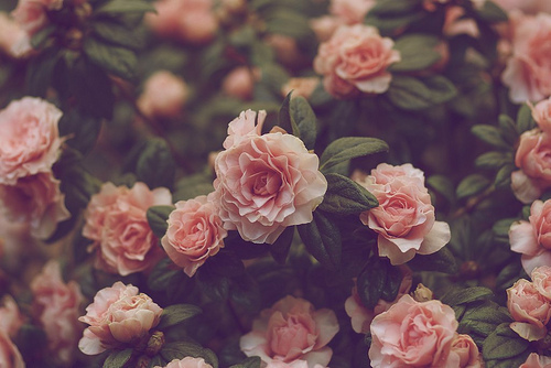 antic, cute, dream, flower, flowers, follow, hope, kind, lol, natural, naturally, nice, old, people, pink, red, rose, sweet, vintage, young